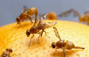 New Research Shows Insulin Resistance In Overfed Fruit Flies
